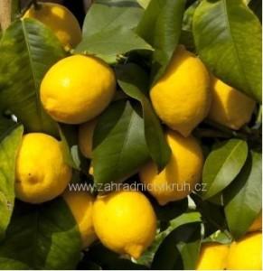 Citroník v květináči P18