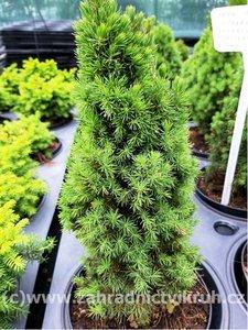 "Smrk sivý ""Zuckerhut"" - Picea glauca"