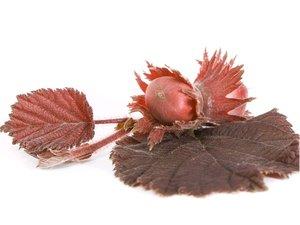 Líska červená Purpurea