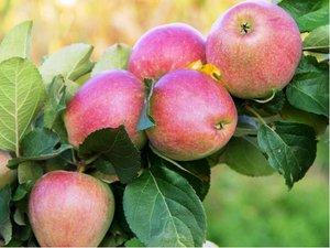 Sloupovitá jabloň WALTZ - podnož MM106