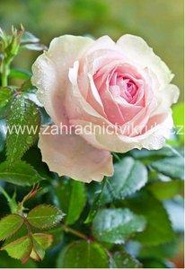 Růže velkokvětá FLAMINGO - světle růžová