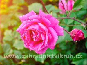 Růže velkokvětá JACKARANDA - růžová