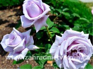 Růže velkokvětá MAINZNER FASTNACHT - světle fialová