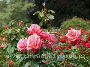 Růže polyantka QUEEN ELIZABETH - růžová