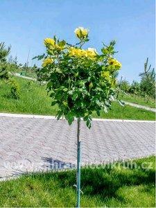 Růže stromková - žlutá