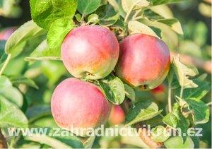Sloupovitá jabloň ILMA - podnož M26