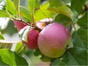 Sloupovitá jabloň KICHINA´S SUMMER - podnož B-118