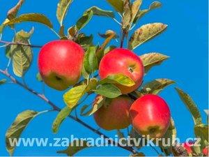 Sloupovitá jabloň VALIUTA - podnož M26