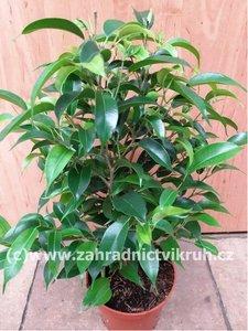 """Ficus Benjamín """"Natasja"""""""
