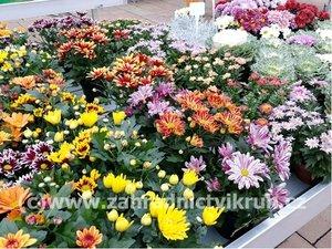 Chryzantéma - různé barvy a velikosti