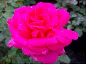 Růže CRITERION - velkokvětá, růžová