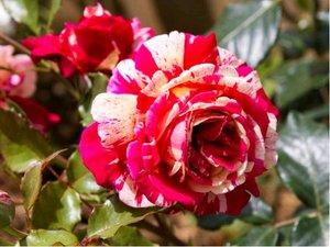 Růže PAPAGENO - velkokvětá, růžovobílá - žíhaná