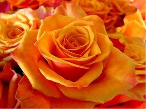 Růže CAP HORN - velkokvětá, oranžová