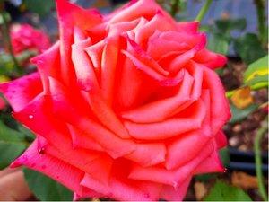 Růže SIKA - velkokvětá, lososová