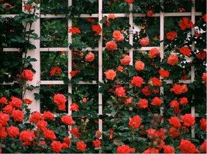 Růže CAP HORN - pnoucí, oranžová
