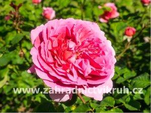 Růže polyantka LEONARDO PINK - růžová