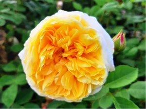 Růže GRAHAM THOMAS - pnoucí, žlutá