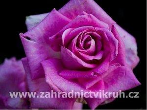 Růže velkokvětá VIOLETTE PERFUME - fialová