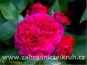Růže sadová LEONARDO - bordó