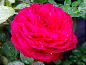 Růže EMPRIENTE - sadová, purpurová v kontejneru