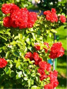 Růže MUSIMARA - pnoucí, červená v kontejneru