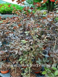 """Buk lesní """"Purpurea"""" - Fagus sylvatica """"Purpurea"""""""