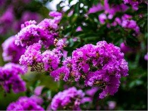 "Pukol - Lagerstroemia indica Black Solitaire® ""Purely Purple"""