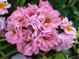 "Růže svraskalá ""Admiration® Rosa Zwerg"" - sv. růžová"