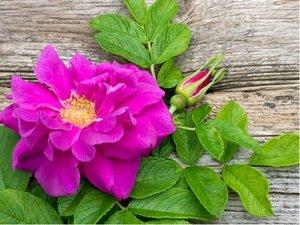 """Růže svraskalá """"Emotion"""" - růžová"""