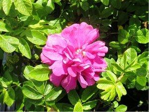 """Růže svraskalá """"Passion® Rokoko"""" - růžová, plnokvětá"""