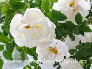 """Růže svraskalá """"White Perfection® Schneeberg"""" - bílá"""