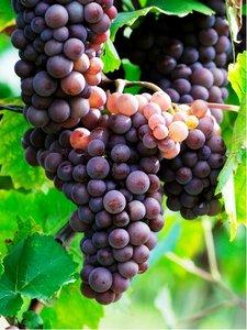 Réva venkovní RULANDSKÉ ŠEDÉ (Pinot Gris) - balení 25ks