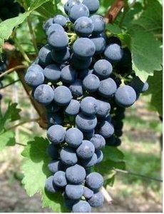 Réva venkovní modrá CABERNET SAUVIGNON - balení 25ks