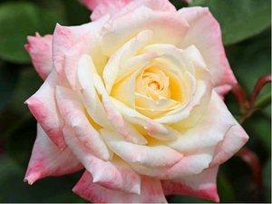 Růže DESSA - velkokvětá, bílá s růžovým okrajem