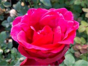 Růže SMOOTH LADY - velkokvětá, beztrnná