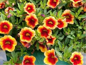 Million Bells Mini Famous® Neo Orange + Red Eye - oranžový s červeným středem