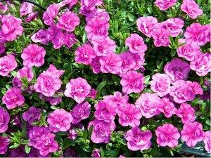 Million Bells Mini Famous® Uno Double Pink Mania - růžový, plnokvětý