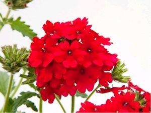 Verbena převislá Lascar® - tmavě červená