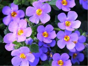 Bakopa velkokvětá - Falls Big Blue - fialová