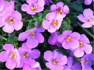 Bakopa velkokvětá - Falls Summer Pink - růžová