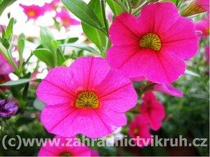 Million Bells Bouquet Brilliant Pink - sytě růžový