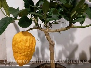 Obří citrus CEDRO v květináči P18
