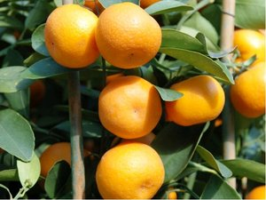 Mandarinka deliciosa - Citrus deliciosa v květináči P9