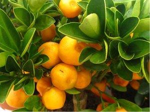 Citrus CALAMONDIN v kv�tin��i P9