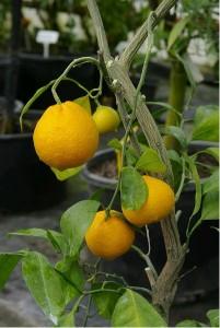 Mandarinka KALININ 5 - roubovaná