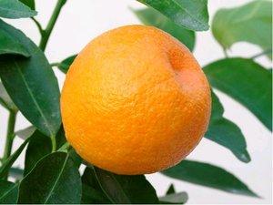 Mandarinka MARISOL - roubovaná