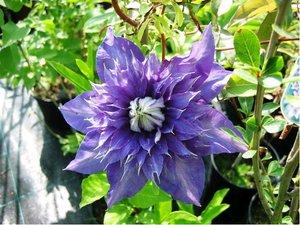 Clematis MULTI BLUE - plnokvětý, modrý