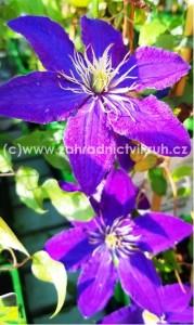 Clematis RHAPSODY - fialový