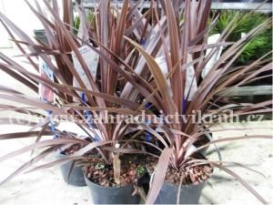 """Dračinka jižní - Cordyline australis """"Red star"""" C 2L"""