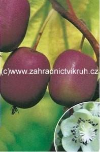 Kiwi arguta PURPURNA SADOVA - samice, extra 2l
